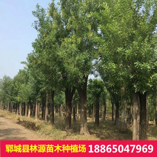 国槐批发 绿化园林工程树木 行道 基地直销 量大从优厂家直销