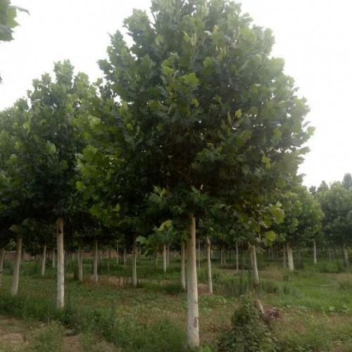 法桐批发 绿化园林工程树木行道 基地直销 量大从优厂家直销