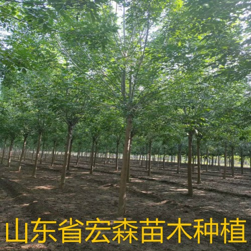 白蜡厂家直销 山东白蜡树 优质货源